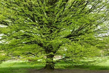 hornbeam: Fresh Hornbeam tree sprouting at spring