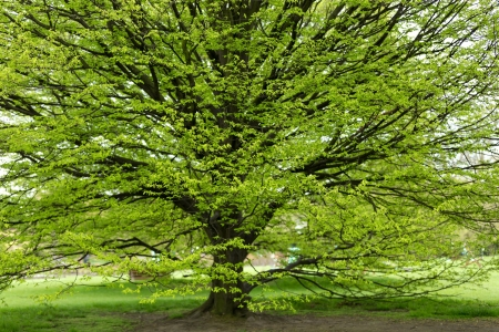 Fresh Hornbeam tree sprouting at spring Reklamní fotografie - 19591249