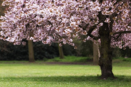 cherry tree: Pink cherry tree blossom at spring, shallow depth of field Stock Photo