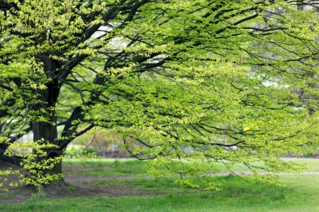 sprouting: Fresh Hornbeam tree sprouting at spring