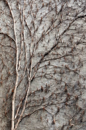 dead wood: Vines branches climbing on concrete wall in winter