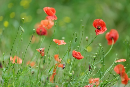 remembrance day: Colourful red Flanders or Corn Poppies , a wildflower that blooms during summer in agricultural cornfields and is associated with Remebrance Day as it flowered in Flanders in wartime Stock Photo