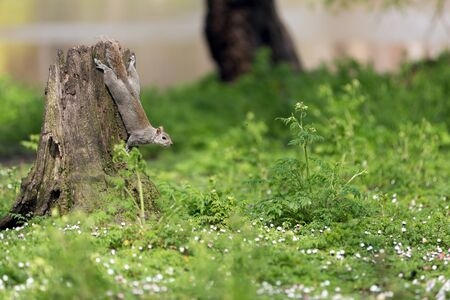 Cute squirrel climbing on a stump in London park photo