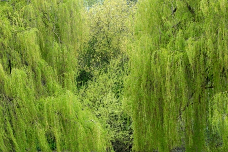 weeping willow: Weeping willow trees in a park at spring