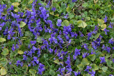 Violet flowers flowerbed in wild meadow Stock Photo