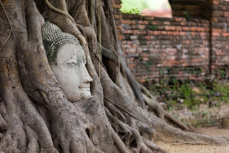 ficus: Buddha head entangled in fig tree roots in Ayutthaya, Thailand