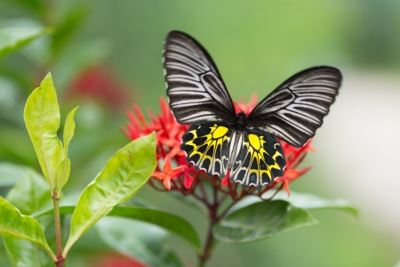 Golden birdwing butterfly gathering pollen on tropical red flower photo