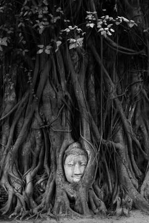 ficus: Black and white picture of Buddha head entangled in fig tree roots in Ayutthaya, Thailand