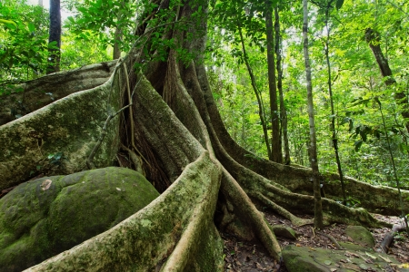 Large fig tree trunk and roots in tropical rainforest, Khao Yai national park, Thailand Stock Photo - 22290165