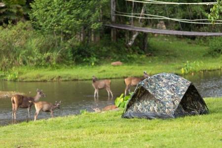 yai: Tenda in un campeggio selvaggio con cervi tutto intorno, parco nazionale di Khao Yai, in Thailandia Archivio Fotografico