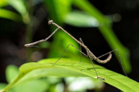 Stick praying mantis standing on a leaf photo