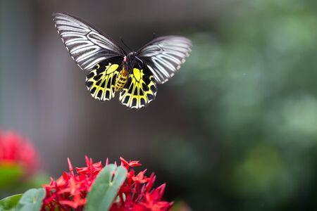 Golden birdwing butterfly captured in flight and showing his trunk Imagens