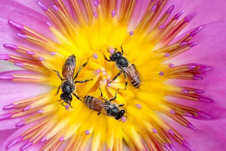 Three tiny bees in circle gathering pollen in the heart of a vivid waterlily flower Stock Photo