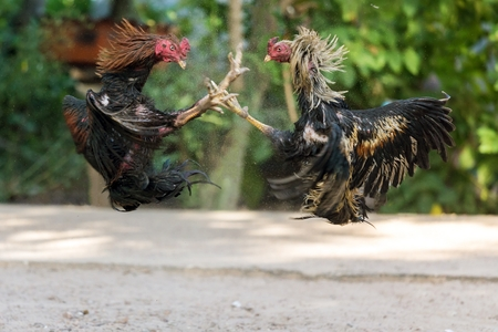 Fighting cocks in a vicious attack clawing at each other with their feet and legs