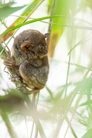 smallest: The Filipino Tarsier is the smallest primate living on earth, here its standing on a bamboo tree in Philippines.