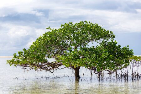 standing water: Beautiful mangrove tree growing on the seashore standing submerged in the sea water with its lush green canopy of spreading branches and leaves under a cloudy blue sky