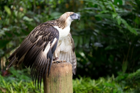 philippine adult: The Filipino eagle (Pithecophaga jefferyi) is a very rare and endangered species living in the Davao province in Philippines.