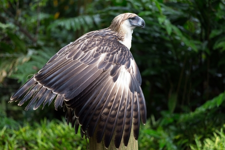 philippine: The Filipino eagle is a very rare and endangered species living in the Davao province in Philippines. Stock Photo