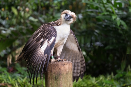 The Filipino eagle is a very rare and endangered species living in the Davao province in Philippines. Stock Photo