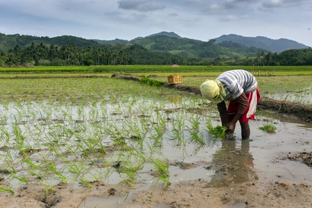 Worker planting rice in the field, Philippines Editorial