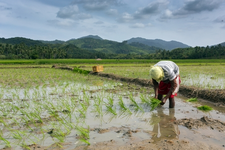 hard working: Worker planting rice in the field, Philippines Editorial