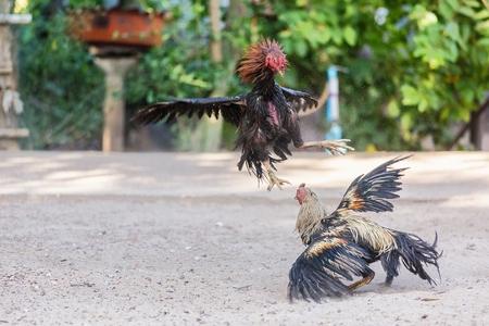 clawing: Combattere galli in un attacco feroce artigliare a vicenda con i loro piedi e le gambe Archivio Fotografico