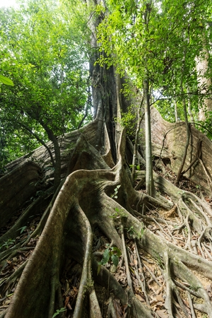fig tree: Large fig tree trunk and roots in tropical rainforest, Khao Sok national park, Thailand Stock Photo