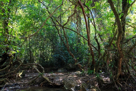 Dense jungle with twisted and entangled vines int he Khao Sok national park, Thailand photo