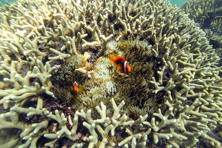 ocellaris: Ocellaris clownfishes in a hard coral reef and anemone, Philippines