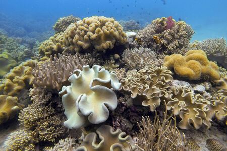 hard coral: Underwater hard and soft coral garden in Moalboal, Philippines