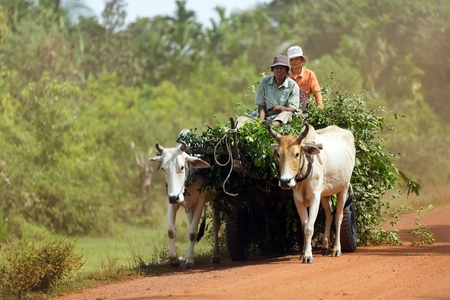 SIEM REAP, CAMBODIA, DECEMBER 04 : Cambodian farmers driving an oxcart loaded with fresh foliage on a dirt road near Siem Reap, Cambodia on December 04, 2012