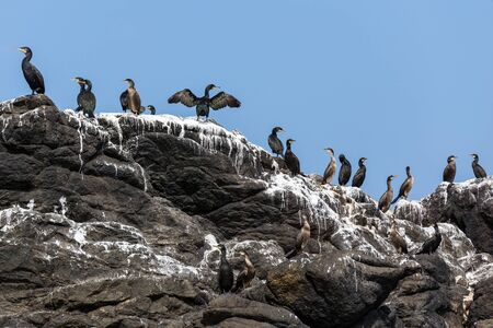 phalacrocoracidae: Cormorants birds colony on rock covered with guano, Brittany, France