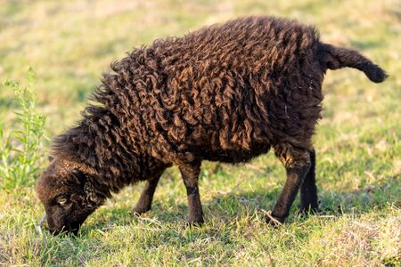 sheep eye: Small Ushant island sheep species grazing in a meadow