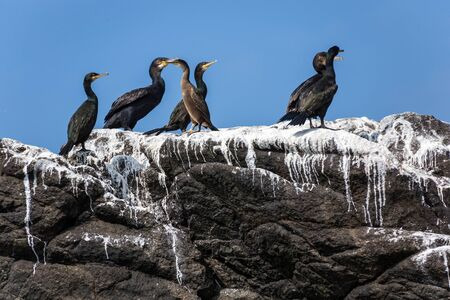 cormorants: Cormorants birds colony on rock covered with guano, Brittany, France