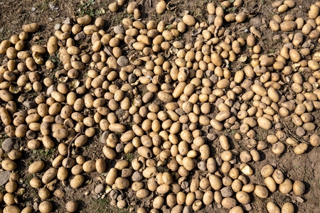 spud: Fresh organic potatoes on the ground just after the harvest
