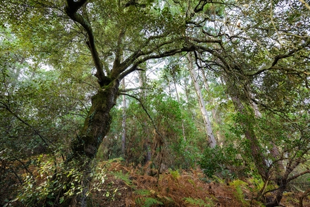 temperate: Evergreen oak tree in a temperate climate moorland forest Stock Photo