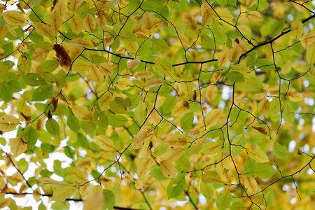 hornbeam: Hornbeam tree fall colors view from below Stock Photo