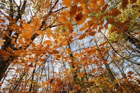 temperate: Oak forest temperate forest view from below at fall