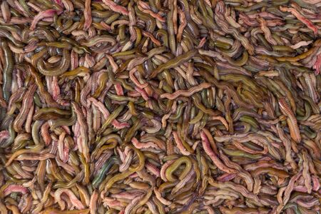 worm infestation: Sand worms in Vietnamese market, ingredient for local traditional food