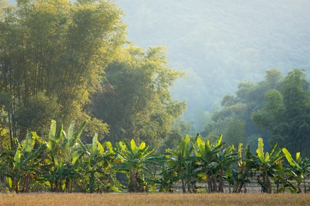 Banana and bamboo trees landscape in the Mai Chau village, Vietnam photo