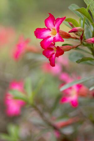 Desert rose flower in a tropical garden, shallow depth of field photo