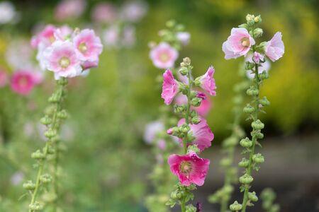 rosea: Alcea Rosea flowers in a tropcial garden, shallow depth of field
