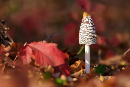comestible: Coprinus Comatus is a comestible mushroom growing in autumn