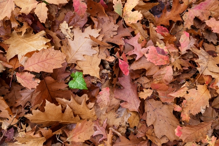 dead leaf: Dead leaves ground with one green ivy leaf