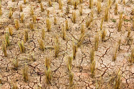 starvation: Dry and cracked rice field after harvest in winter, Thailand