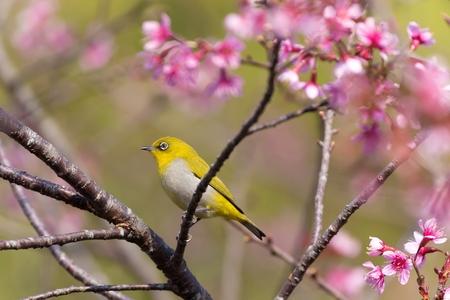 curare teneramente: Oriental White-eye uccello in piedi su un ramo di un albero amare