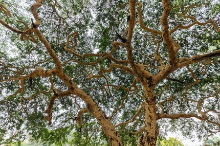 tortuous: Twisted branches of acacia tree Vachellia leucophloea in Myanmar