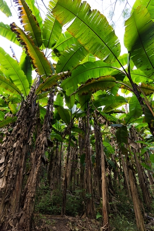 the view from below: Wild banana tree plantation in Thailand, view from below Stock Photo