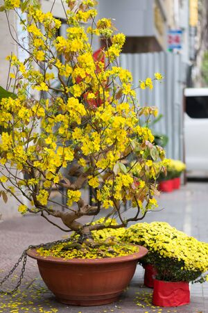 holiday tradition: Hoa Mai tree (Ochna Integerrima) in saigon street for traditional lunar new year in Vietnam Stock Photo