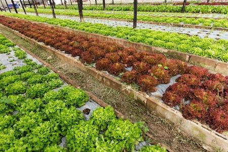 tropical garden: Organic lettuce field in a tropical vegetable garden Stock Photo